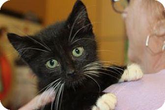 Domestic Shorthair Kitten for adoption in Louisville, Kentucky - Whiskers