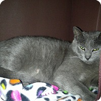 Russian Blue Cat for adoption in Mount Laurel, New Jersey - Andromeda