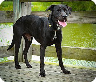Labrador Retriever Mix Dog for adoption in Indianapolis, Indiana - Benny