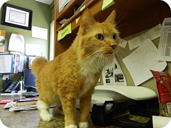 Domestic Mediumhair Cat for adoption in Randleman, North Carolina - Lily
