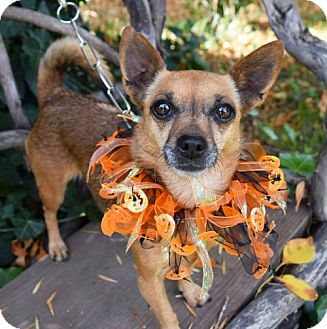 Chihuahua Dog for adoption in Prosser, Washington - Salsa