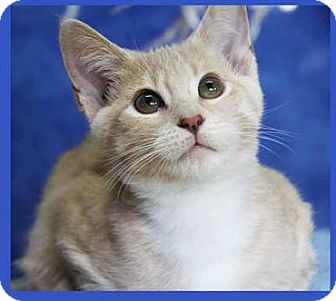 Domestic Shorthair Kitten for adoption in South Bend, Indiana - Helen Redd