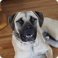 Mastiff Mix Dog for adoption in Aurora, Illinois - Bo