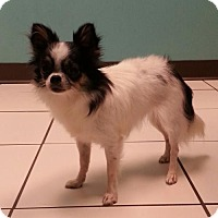 Chihuahua Dog for adoption in Mobile, Alabama - Sarina - 4lbs