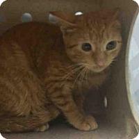 Adopt A Pet :: BASIL - Brooklyn, NY