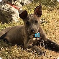 Pit Bull Terrier Mix Puppy for adoption in Alpharetta, Georgia - RachelCat