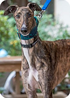 Greyhound Dog for adoption in Walnut Creek, California - Shakenfree