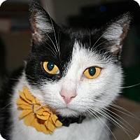 Domestic Shorthair Cat for adoption in Los Angeles, California - Gemma
