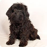 Adopt A Pet :: Dark Knight PoodleAussie - St. Louis, MO