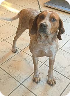 English (Redtick) Coonhound/Hound (Unknown Type) Mix Dog for adoption in Lexington, Massachusetts - Noah