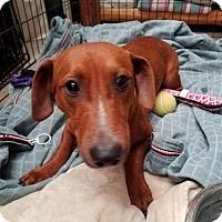 Adopt A Pet :: Buddy - Dickinson, TX