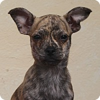 Adopt A Pet :: Theo - Los Angeles, CA