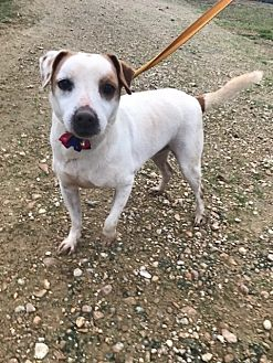 Jack Russell Terrier Mix Dog for adoption in Jackson, Mississippi - Flopsie