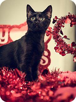 Domestic Shorthair Kitten for adoption in Gainesville, Florida - Dugan