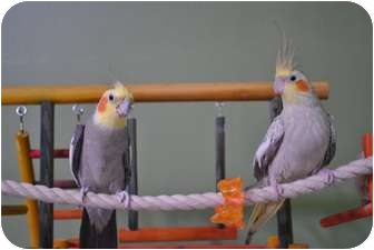 Cockatiel for adoption in Redlands, California - Cinnamon & Ginger