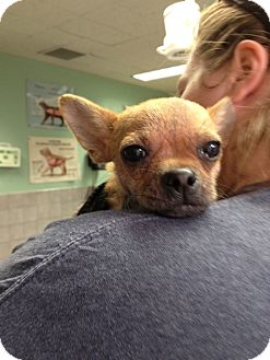 Chihuahua Mix Puppy for adoption in Chicago, Illinois - T-Rex