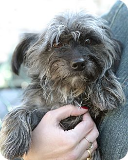 Cairn Terrier Mix Dog for adoption in Rockaway, New Jersey - Dancer