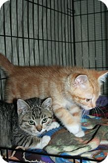 Domestic Shorthair Kitten for adoption in Santa Rosa, California - Antonio