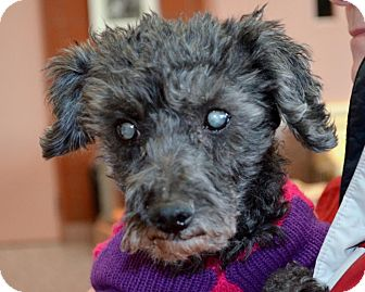Poodle (Toy or Tea Cup)/Schnauzer (Miniature) Mix Dog for adoption in North Olmsted, Ohio - Bumpkin