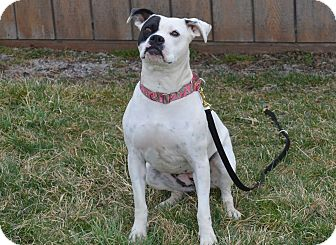 American Pit Bull Terrier Mix Dog for adoption in New Cumberland, West Virginia - Sweet