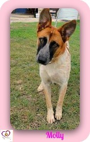 Australian Cattle Dog/Shepherd (Unknown Type) Mix Dog for adoption in Eddy, Texas - Molly