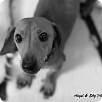 Adopt A Pet :: Napoleon - Fort Riley, KS