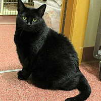 Domestic Shorthair Cat for adoption in Saranac Lake, New York - Blackie