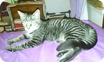 Domestic Shorthair Kitten for adoption in Stanhope, New Jersey - Bartley