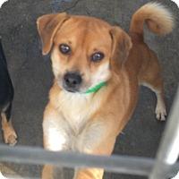 Adopt A Pet :: Herbie - Encino, CA