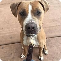 Adopt A Pet :: Jonah - Las Vegas, NV