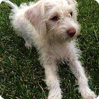 Adopt A Pet :: Cupcake - Thousand Oaks, CA