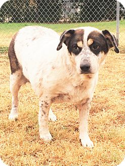 Australian Cattle Dog Mix Dog for adoption in Watauga, Texas - Brittany