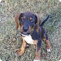 Adopt A Pet :: Foxtrot - Duluth, GA