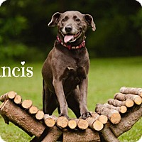 Labrador Retriever Mix Dog for adoption in Matawan, New Jersey - Francis