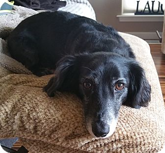 Dachshund Dog for adoption in Portland, Oregon - LEO