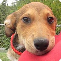 Cattle Dog Mix Puppy for adoption in Reeds Spring, Missouri - Fredrich
