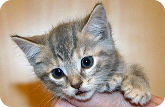 Domestic Shorthair Kitten for adoption in Wildomar, California - Missy Doodle