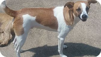 Basenji/Hound (Unknown Type) Mix Dog for adoption in Providence, Rhode Island - Billy