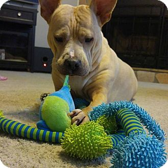 Shar Pei/Bull Terrier Mix Dog for adoption in Covington, Tennessee - Piggy