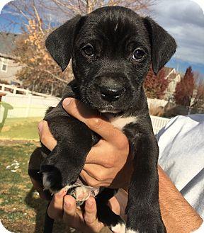 Labrador Retriever Mix Puppy for adoption in Fort Collins, Colorado - Chuck (DENVER)