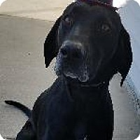 Labrador Retriever/Bluetick Coonhound Mix Dog for adoption in Queenstown, Maryland - Rebel