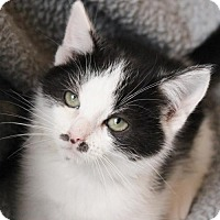Domestic Shorthair Kitten for adoption in Atlanta, Georgia - Mario