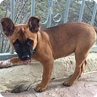 Adopt A Pet :: Tilly's pup Sweden - Tucson, AZ