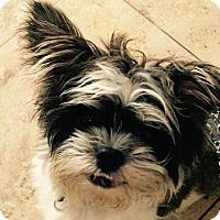 Adopt A Pet :: TyTy - La Quinta, CA
