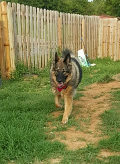German Shepherd Dog Dog for adoption in Morrisville, North Carolina - Roxie 2015