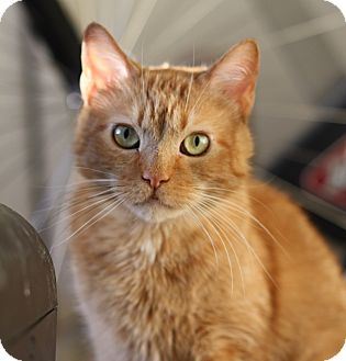 American Shorthair Cat for adoption in Frankfort, Illinois - Brian the Brad Pitt of cats