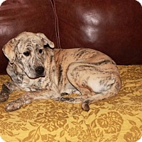 Adopt A Pet :: Lacey - Spring Valley, NY
