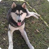 Adopt A Pet :: Purebred Husky - Lomita, CA