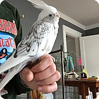 Adopt A Pet :: Chachi - Sudbury, MA