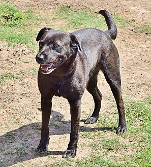 Labrador Retriever/Terrier (Unknown Type, Medium) Mix Dog for adoption in Iola, Texas - Bolt